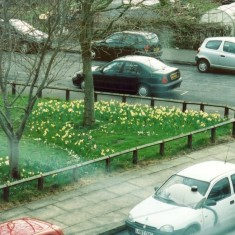 Daffodils in Holberry Gardens. 2005 | Photo: Polly Blacker / Tony Cornah